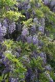 Wisteria sinensis. Purple Wisteria sinensis on a garden Royalty Free Stock Photo