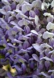 Wisteria sinensis Royalty Free Stock Photo