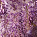 Wisteria sinensis. Purple Wisteria sinensis on a garden royalty free stock image