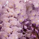 Wisteria sinensis. Purple Wisteria sinensis on a garden stock images