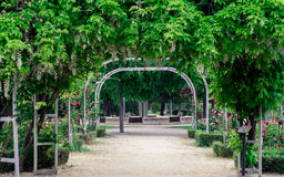 Wisteria sinensis and red roses in a park. Springtime Royalty Free Stock Photo