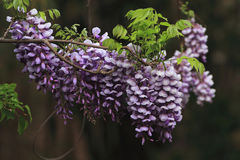Wisteria sinensis Sweet Royalty Free Stock Photo