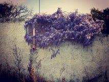 Wisteria som hänger över ett ridit ut vitt staket, filtrerat lynnigt skott royaltyfria bilder