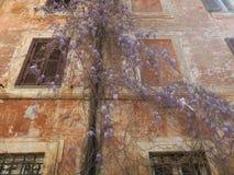 Wisteria som växer runt om en stuprör mot en pastellfärgad målad vägg i Rome Italien arkivbilder