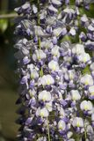Wisteria spring bloom Royalty Free Stock Photos
