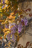 Wisteria in the spring Royalty Free Stock Photo