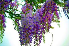 Wisteria in springtime. Wisteria against blue sky royalty free stock images
