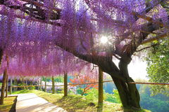 Wisteria and sunshine filtering through foliage Royalty Free Stock Photography