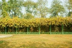 Wisteria tree Stock Images