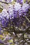 Wisteria tree Stock Photos