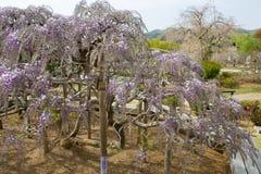 Wisteria Tree Stock Photo