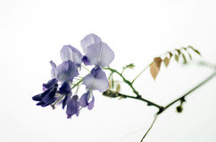 Wisteria tree branch with beautiful flowers Royalty Free Stock Photo