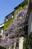 Wisteria tree in full bloom growing out the balcony house in Milan - Italy. Wisteria Vine may take several years for one of these plants to blossom royalty free stock images