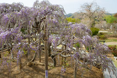 Wisteria tree Stock Photo