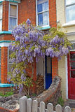 Wisteria tree Stock Image