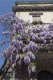 Wisteria tree with purple flowers growing outside the balcony house. Milan, Italy. Wisteria Vine may take several years for one of these plants to blossom stock photo