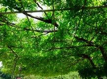 Wisteria trees at Ashikaga Flower Park. In Tochigi, Japan Stock Photo