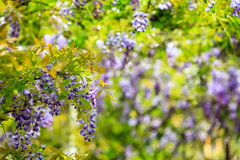 Wisteria trellis. great views of Taiwan Royalty Free Stock Image