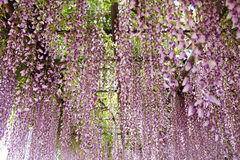 Wisteria trellis. In the Japanese Garden Royalty Free Stock Photo