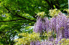 Wisteria trellis Stock Photo
