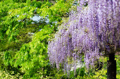 Wisteria trellis Stock Photography