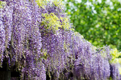 Wisteria trellis Royalty Free Stock Photography