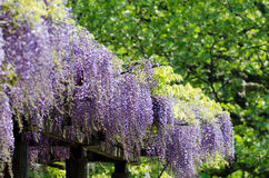 Wisteria trellis Royalty Free Stock Photos