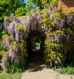 Wisteria tunnel at Eastcote House Gardens, London Borough of Hillingdon. Photographed in May when the flowers are in full bl