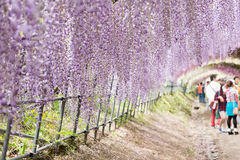 Wisteria tunnel, the fantastical world full of Wisteria flowers Stock Images