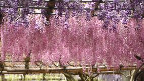 Wisteria tunnel, the fantastical world full of Wisteria flowers. Slow panning of Wisteria tunnel, the fantastical world full of Wisteria flowers stock video