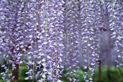 Wisteria tunnel, the fantastical world full of Wisteria flowers Royalty Free Stock Photo