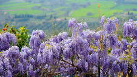 Wisteria in Tuscany. Flowering pink wisteria at spring in Tuscany, Italy Royalty Free Stock Photo