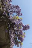 Climbing wisteria vines in full bloom in the spring day. Milan, Italy. Wisteria Vine may take several years for one of these plants to blossom royalty free stock images