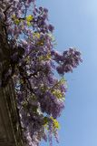 Purple Wisteria, climbing plant, in full bloom. House wall in Milan, Italy. Wisteria Vine may take several years for one of these plants to blossom stock photos