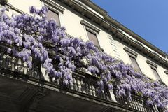 Wisteria plant climbing  up the balcony of the house in the spring day. Milan, Italy. Wisteria Vine may take several years for one of these plants to blossom stock images