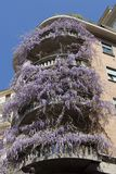 Wisteria purple climbing plant on house wall, Milan - Italy. Wisteria Vine may take several years for one of these plants to blossom royalty free stock photo