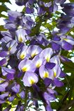 Chinese Wisteria purple blue colored bloom closeup. The wisteria is a vine in the pea family, and it has white to purple pea-like flowers during late spring to Royalty Free Stock Images