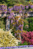 Wisteria vine Royalty Free Stock Images