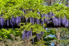 Wisteria vine Royalty Free Stock Photo