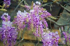 Wisteria. Vine purple Stock Photography