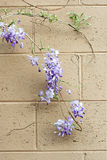 Wisteria vine on wall Stock Image