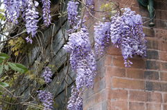 Wisteria on a wall Stock Images