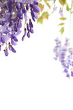 Wisteria on white, space for text Royalty Free Stock Photography