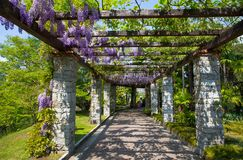 Wisteria wistaria in the botanical garden of Villa Taranto in Pallanza, Verbania, Italy. royalty free stock photo