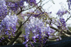 Wisteria Wistaria flowering Royalty Free Stock Image