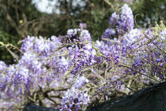 Wisteria Wistaria flowering Royalty Free Stock Images