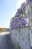 Wisteria Wistaria flowering Royalty Free Stock Photography