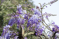 Wisteria Wistaria flowering in a garden Stock Image