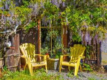 Wisteria Wisteria sinensis. Garden chairs under large purple clusters of wisteria Wisteria sinensis blooming in the spring royalty free stock photography