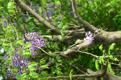 Wisteria. Yard long summer flowering trees, wisteria tree flowers pass a string of neighbors Stock Images